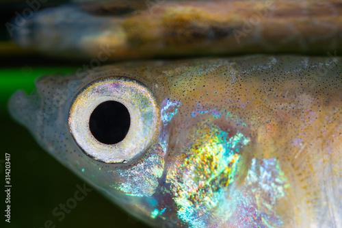 Fotografie, Obraz  Colorful Fish Eye and Skin Close Up