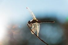 Dragonfly Perched On Small Twi...