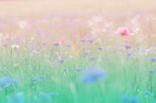 シャーレーポピー 花畑