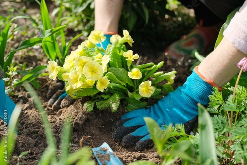 Close-up of woman hands planting yellow primrose flowers in garden Wallpaper Mural