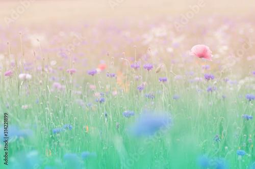 シャーレーポピー 花畑 - 314221899
