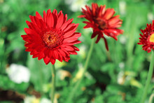 Beautiful Red Gerbera Daisy Flower Blooming In The Garden With Blurred Background.