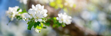 Blurred Apple Tree Background ...