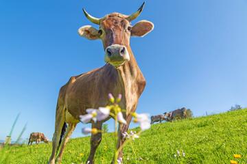 Kuh - Allgäu - Hörner - Blumen - Braunvieh