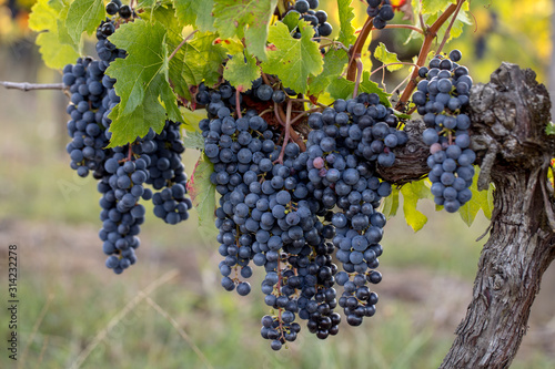 Photo Close up of red merlot grapes in vineyard