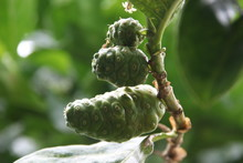 Young Noni Fruits Are On Branc...