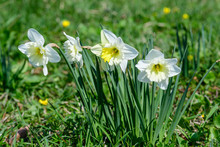 Group Of Delicate White Daffod...