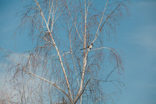 Birch Without Leaves Against Blue Sky