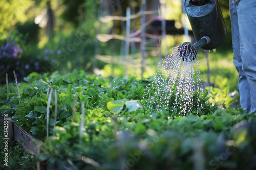 Man farmer watering a vegetable garden