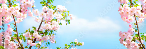 Tableau sur Toile Branches blossoming cherry on background blue sky and white clouds in spring on nature outdoors