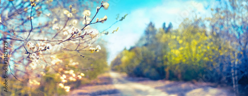 Defocused spring landscape. Beautiful nature with flowering willow branches and forest road against blue sky with clouds, soft focus. Ultra wide format. - 314257229