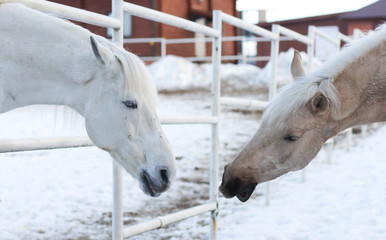 Two white horses in the corral outdoor in winter opposite each other, one of them stretching head to other