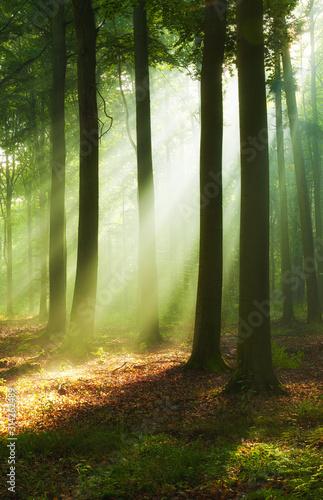 Fototapeta Beautiful morning in the forest obraz