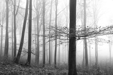 Black And White Photo - Forest...