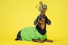 Funny Dog Dachshund, Black An...