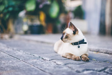 Cute Siam Cat Laying Outdoors.