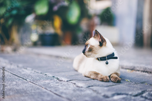 Stampa su Tela Cute siam cat laying outdoors.