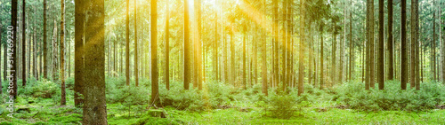 Fototapeta Forest landscpape background panorama banner long - Tress in the forest illuminated by the morning sun obraz