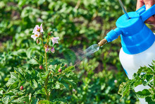 Spraying Plants Against Colora...