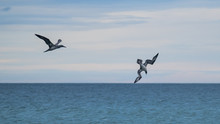 Gannet (juvenile( Diving Into The Sea With Another Gannet Flying Along Watching