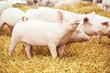 Leinwanddruck Bild - Two young piglet at pig breeding farm