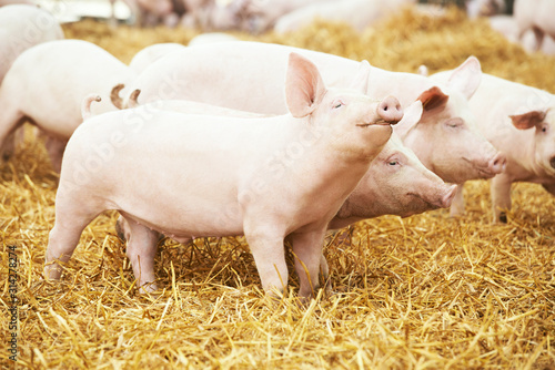 Foto Two young piglet at pig breeding farm