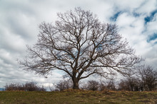 Bare Tree Without Leaves On A Hill