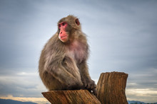 Japanese Macaque On A Trunk, I...
