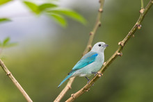 Blue-grey Tanager (Thraupis Ep...