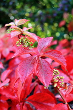 Bright Red Autumn Leaves Covered With Rain Drops, Green And Blue Bokeh Background