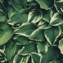 View From Above On Hosta Leaves