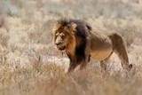 Lion, black maned Kalahari male, in Kgalagadi Transfrontier Park in South Africa