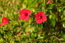 Two Red Flowers On Bushes Grow...