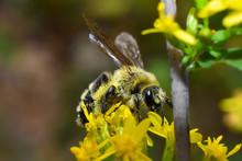 Hairy Banded Mining Bee