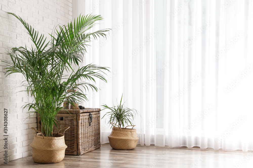 Fototapeta Beautiful green potted plants in stylish room interior. Space for text