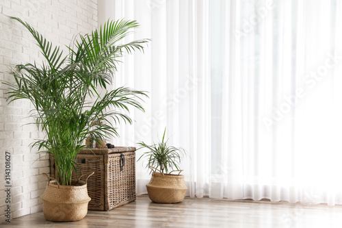 Fototapeta Beautiful green potted plants in stylish room interior. Space for text obraz