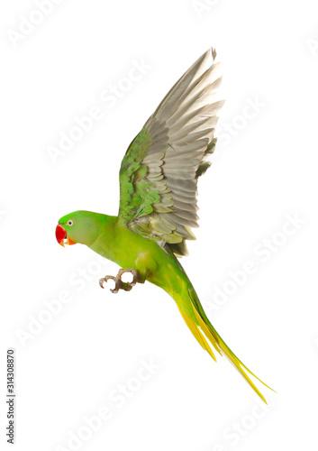 Beautiful Alexandrine parakeet flying isolated on white Fotomurales
