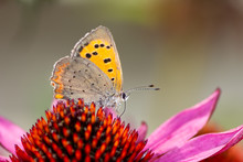 Common Copper Butterfly Collec...