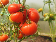 Tomatoes Ripen In The Greenhou...