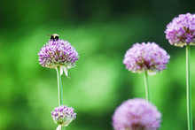 Bee Pollinating On A Purple Allium Flower In The Garden