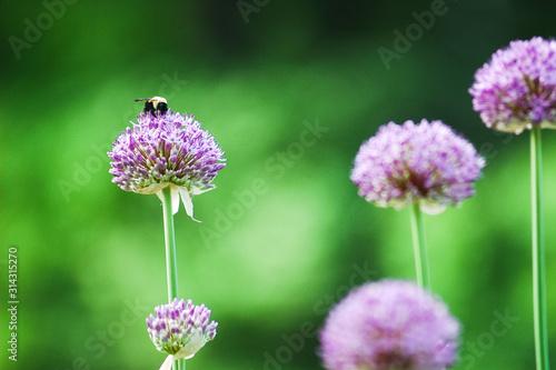 Bee pollinating on a purple allium flower in the garden Canvas Print