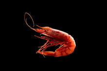 King Tiger Red Prawn Shrimp Mazara Isolated On Dark Background