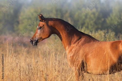 Fototapeta A beautiful chestnut arabian horse against summer background. Portrait closeup, profile side view. obraz