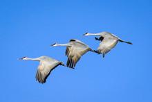 Sandhill Cranes Flight - Trio