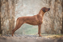 Beautiful Rhodesian Ridgeback Dog