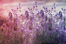 Creatve Toned Laveder Field. Beautiful Detail Of Scented Lavender Flowers Field