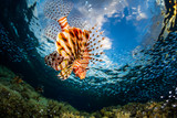 Lionfish surrounded by the prey fish swims on the reef in the tropical sea