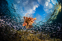 Lionfish Surrounded By The Pre...