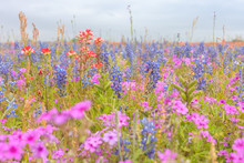 Field Of Wildflowers In Full Bloom During Spring. Texas Blue Bonnets And Indian Paint Brush Wildflowers