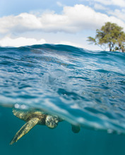 Hawaiian Green Sea Turtle Swims Around In The Coral Reef And Rocky Shoreline